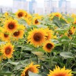 Flowers sunflowers on a city backdrop — Foto Stock