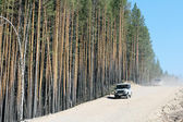 Dusty dirt road and mast pines — Stockfoto