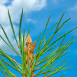 The top of a young pine tree against a blue sky with clouds — Stock Photo #31214183
