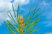 The top of a young pine tree against a blue sky with clouds — Stock Photo