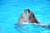 Lovers dolphins — Stock Photo