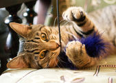 Tabby cat chews a toy — Stock Photo