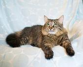 Striped siberian cat — Stock Photo