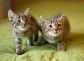 Two striped kitten sneak up — Stock Photo
