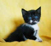 Black-and-white kitten with blue eyes — Stock Photo