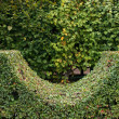 Stock Photo: Fragment of hedge