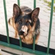 Guard dog peeking out from behind the fence — Stock Photo