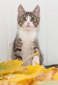 Surprised striped kitten sitting on maple leaves — Stock Photo