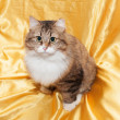Fluffy tricolor cat with yellow eyes — Stock Photo