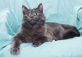 Fluffy smoky black cat with yellow eyes — Stock Photo