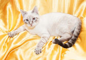 White cat with gray spots — Stock Photo