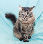Striped green-eyed Siberian cat sits — Stock Photo