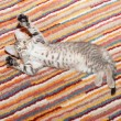 Tabby kitten with spotty belly lying on striped rug — Stock Photo #36043473