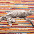 Tabby kitten with spotty belly lying on striped rug — Stock Photo #36043483