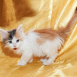 Little fluffy kitten tricolor sneaking with his tongue hanging — Stock Photo