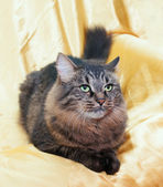 Fluffy Siberian cat is, sadly looking away — Stock Photo