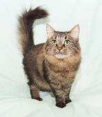 Fluffy Siberian cat worth inquiring arching tail — Zdjęcie stockowe