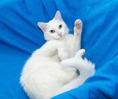 великолепный белый кот лежал на стуле, держа впереди ноги — Стоковое фото