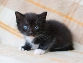 Small black fluffy kitten with blue eyes looking at fright — Stok fotoğraf