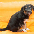 Small black puppy with brown markings sitting — Stock Photo