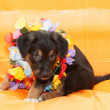 Small black puppy with brown markings plays on orange background — Стоковая фотография