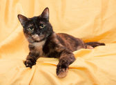Three-colored cat with yellow eyes looking sternly lying — Stock Photo