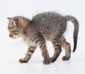 Striped fluffy kitten goes arching tail — Stock Photo