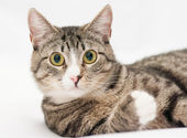 Tabby cat with yellow eyes and white nose looking forward — Stock Photo