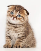 Small tabby kitten Scottish Fold sits and stares wistfully — Stock Photo