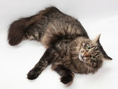 Striped Siberian cat is looking askance — Stock Photo