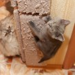 Stock Photo: British blue kitten climbs up scratching post