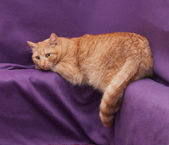 Red fluffy cat lying, omitting one hind paw  — Stock Photo