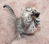 Small tabby kitten Scottish Fold leaps forward, stretching legs — Stock Photo