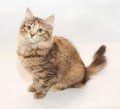 Sesión tricolor gatito fluffy apartar la mirada — Foto de Stock