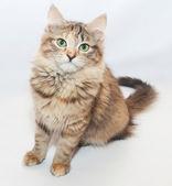 Tricolor fluffy kitten sitting  — Stockfoto