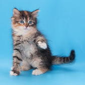 Tricolor fluffy kitten sits coquettishly lifting paw — Stock Photo