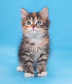 Tricolor fluffy kitten worth looking up  — Stock Photo