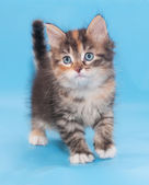 Tricolor fluffy kitten is incredulous looking forward  — Stock Photo