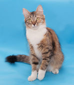 Tricolor fluffy cat sits  — Stock Photo