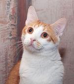 Gatto zenzero e bianco con occhi arancioni — Foto Stock