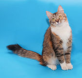 Threecolored cat sitting on blue  — Stock Photo
