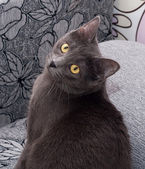 Gray cat with yellow eyes sitting on colorful  — Foto Stock