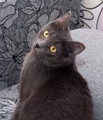 Gatto grigio con occhi gialli seduto sul colorato — Foto Stock