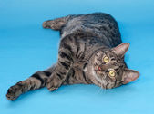 Tabby cat with yellow eyes lying on blue  — Stock Photo