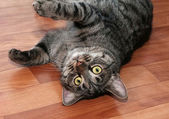 Tabby cat with yellow eyes  — Foto Stock