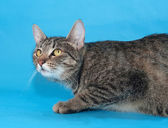 Tabby cat with yellow eyes sneaks up on a blue  — Stock Photo