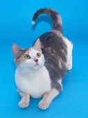 Gato branco com manchas de erguido sua cauda encontra-se no azul — Fotografia Stock