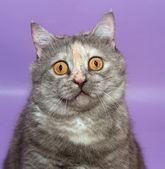 Stående tjocka rolig katt med gula ögon på lila — 图库照片