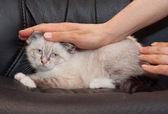 Little fluffy kitten seal point — Stock Photo