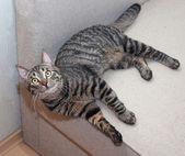 光滑的条纹的猫绿色的眼睛 — 图库照片